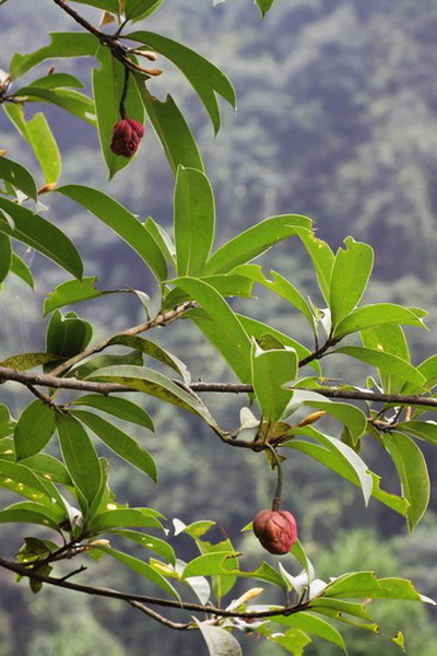 Magnonia conifera - Planta-china 2.jpg at www.BotanyVN.com