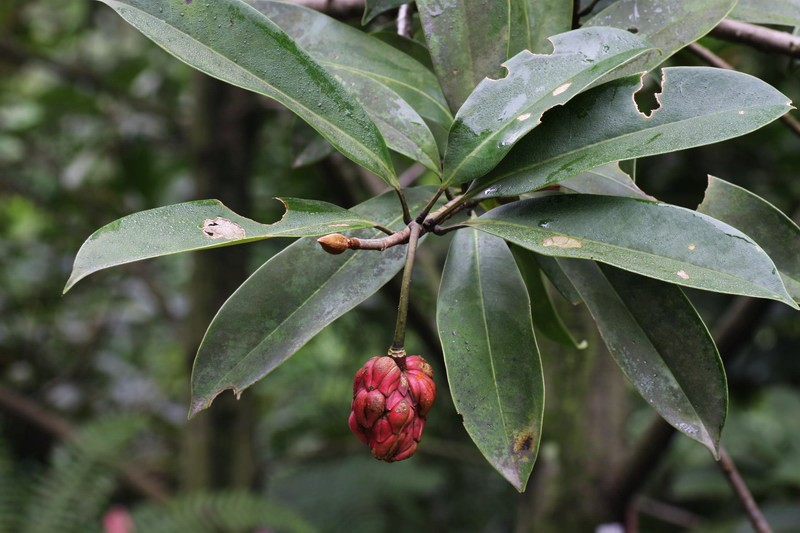 Magnonia conifera - Planta-china.jpg at www.BotanyVN.com